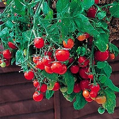 Tomato Garden Seeds - Tumbling Tom Red - Non-GMO, Vegetable Gardening Seed - Super Sweet