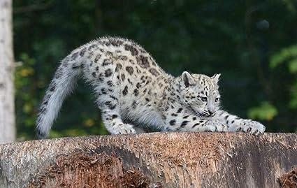 Amazon com: ElloStorka Snow Leopard cub Animals/Animal