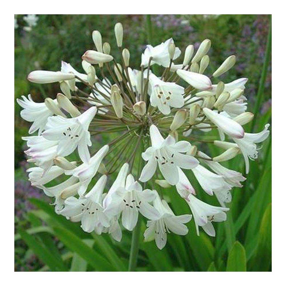 Agapanthus praecox ssp orientalis tall white - African lily - 10 seeds Exotic Plants