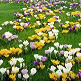 Van Zyverden Crocus Large Flowering Blend Set of 100 Bulbs