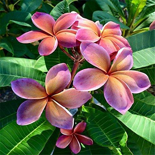 Davitu 100Pcs/Pack Plumeria Seeds Hawaiian Frangipani Flower Garden Wedding Party Decorations - (Color: 4)