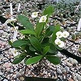 1 Starter Plant of Euphorbia Milli Crown Of Thorns White