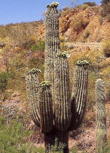 - 40 Seeds Carnegia gigantea Cacti // Succulents Giant Saguaro Cactus TROPICA