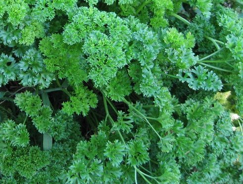 500+ Parsley Seeds- Curled Forest Green- Herb- 2019 Seeds ()