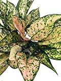 Etta Rose Chinese Evergreen Plant - Aglaonema - Grows in Dim Light - 6'' Pot
