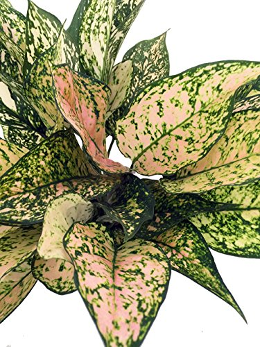 Evergreen Chinese Plant (Etta Rose Chinese Evergreen Plant - Aglaonema - Grows in Dim Light - 6