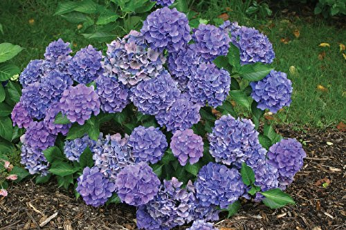 1 Gal. Cityline Venice Bigleaf Hydrangea (Macrophylla) Live Shrub, Pink, Blue and Green Flowers by Proven Winners (Image #7)