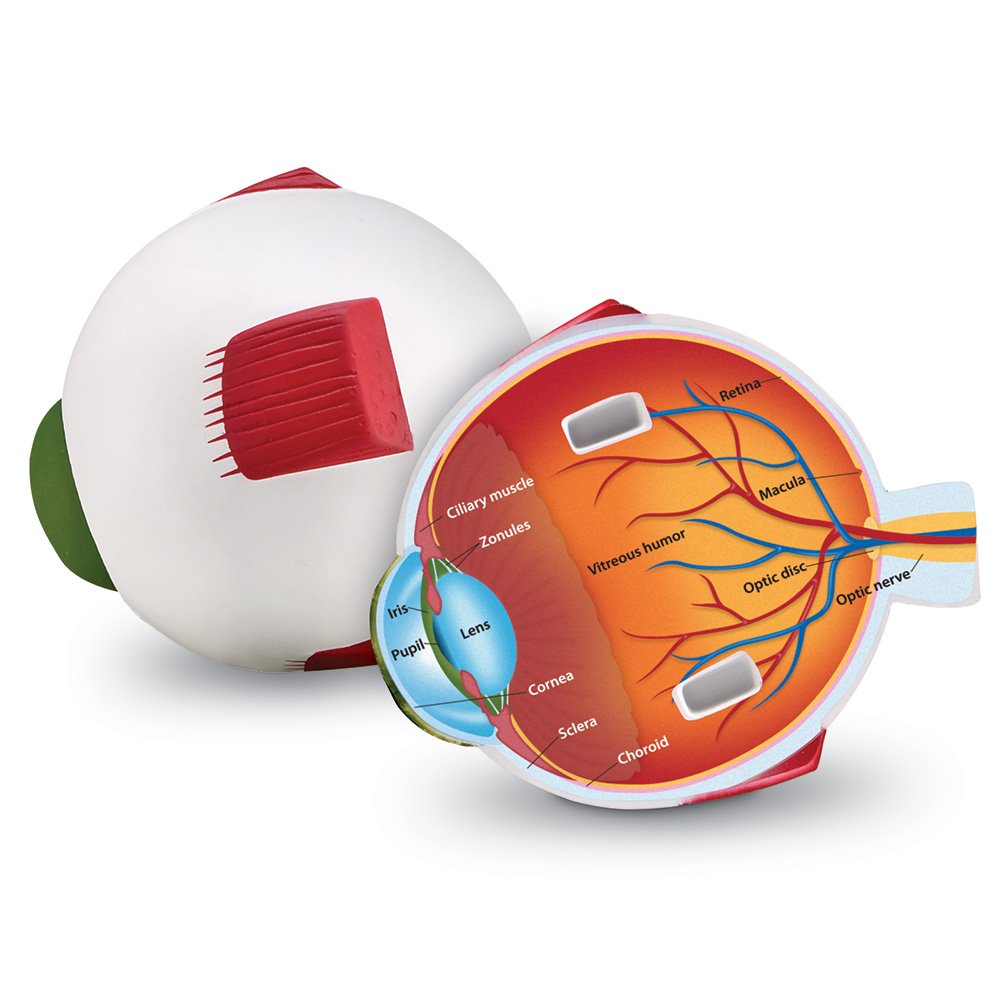 Amazon Learning Resources Cross Section Eye Model Toys Games
