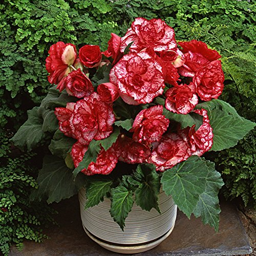 (Mytree Red Amerihybrid Tuberous Picotee Lace Begonia Flamenco (3 Big Bulbs) 6¡± Bi-Color Blooms)