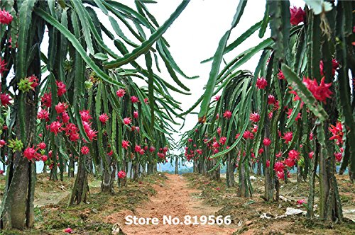 Chinese Red Dragon Fruit Seeds 200pcs Pitaya Sementes home Bonsai Hylocereus undulatus (Chinese Tree Dragon)