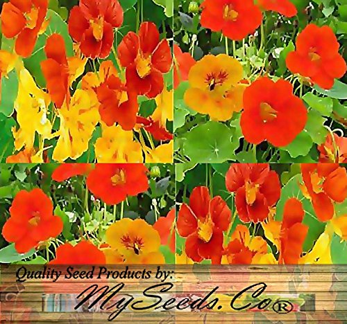 BIG PACK - NASTURTIUM Flower Seed Mix (1,000) - Edible Tropaeolum nanun - Spurred, flat-faced trumpet - USED IN CAKE & BAKERY - Flower Seeds By MySeeds.Co (BIG PACK - Nasturtium Mix)