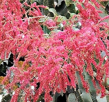 Amazon terminalia myriocarpa 10 seeds east indian almond terminalia myriocarpa 10 seeds east indian almond pendulous pink flowers small tree or shrub fast growering mightylinksfo