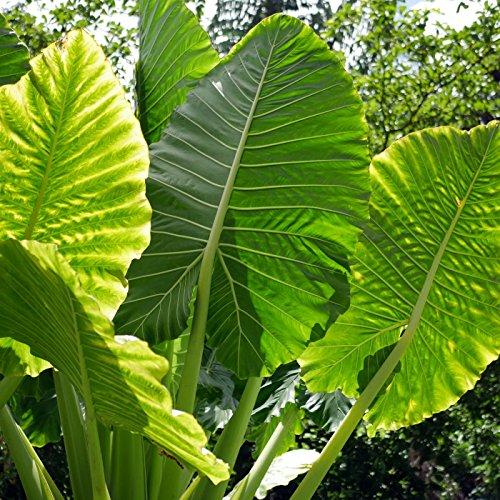 20 Alocasia macrorrhizos Seeds, Giant Taro Seeds, Upright elephant ear Seeds, Giant ape Seeds