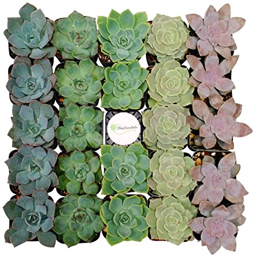 Shop Succulents Rosette Succulent (Collection of 100)