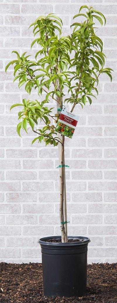 O'Henry Freestone Peach Tree Shipped in Soil, Five Gallon Container