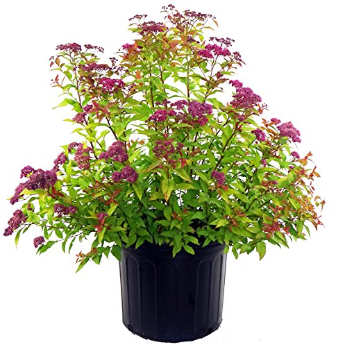 (Spiraea bumalda 'Gold Flame' (Spirea) Shrub, #3 - Size Container)