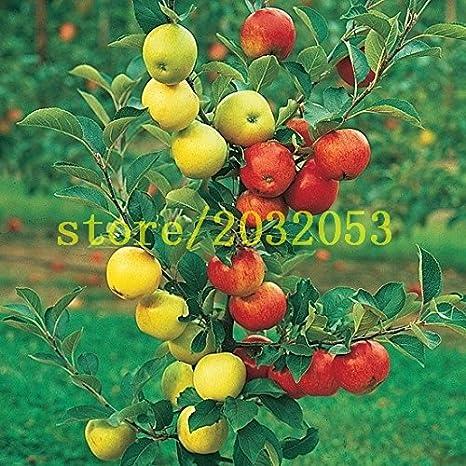 100 semillas de manzano enano árboles bonsai semillas de manzana MINI frutales para plantar jardín de su casa envían semillas de fresa grande como regalo: ...