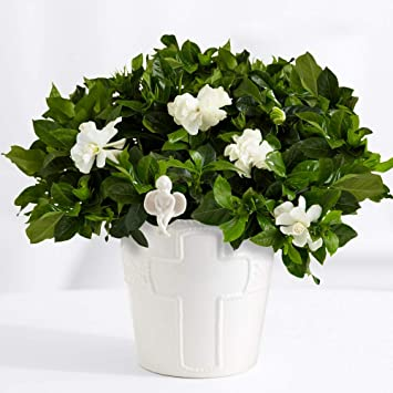 Amazon.com : ProFlowers - White Peace of Gardenia with Angel ... on house plants with yellow and green leaves, house plants that bloom, house plant green and white, house plants with pink, house plants that flower, house plants with lily, peace lily with pink blooms, house plants with variegated leaves, house with flowers, house plant which blooms flowers, house plants with red, water plants with white blooms,