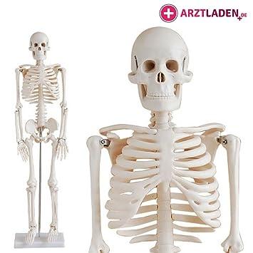 Skelettmodell Menschliches SKELETT Anatomie Modell Lehrmodell ...