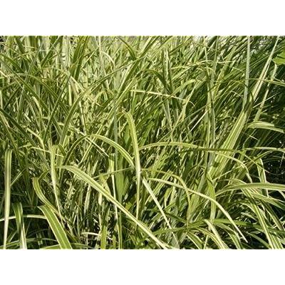 "50 MISCANTHUS SINENSIS "" VARIGATUS ""JAPANESE SILVER GRASS SEEDS : Garden & Outdoor"
