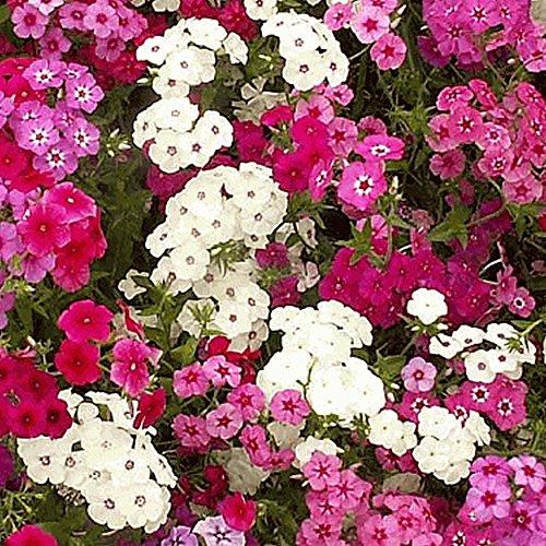 (Nianyan -Mixed Annual Phlox Native Wildflower Seeds-New Phlox Paniculata Garden Summer Native Hummingbird Flower Seeds)