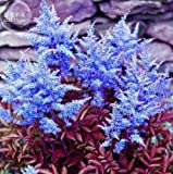 New Dark Blue Astilbe Chinensis Perennial Flower 100+ Seeds