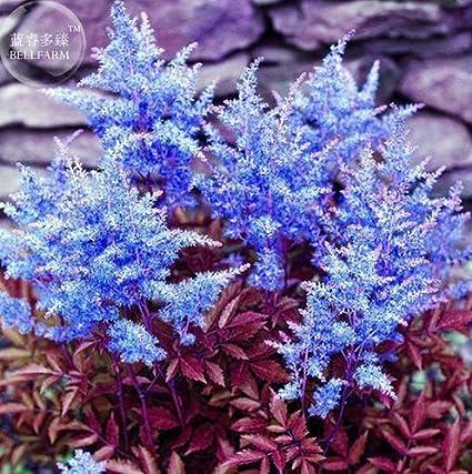 Amazon new dark blue astilbe chinensis perennial flower 100 new dark blue astilbe chinensis perennial flower 100 seeds mightylinksfo