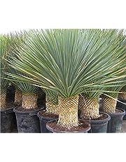 Pianta Yucca Rostrata vaso 7cm,Altezza 10/15cm