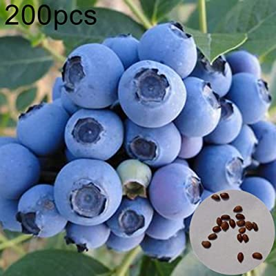 onestaring 200Pcs Giant Blueberry Seeds Sweet Delicious Fruit Pot Bonsai Plant for Home Garden Decoration Blueberry Seeds (6959110506046): Books