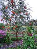 4 European Mountain Ash (Sorbus aucuparia) 1-2'
