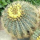 20 Seeds Ferocactus glaucescens Cacti Rare Cactus ECC