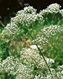 Valerian Seeds - Valeriana Officinalis - .1 Grams - Approx 150 Gardening Seeds - Herb Garden Seed