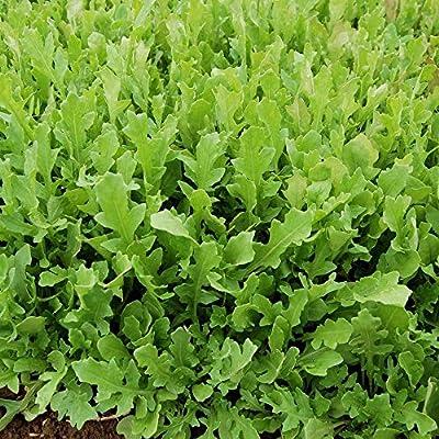 Organic ARUGULA Seeds (APPR. 1, 100) Surrey Arugula - Heirloom Vegetable Seeds - Certified Organic, Non-GMO, Non Hybrid -USA : Garden & Outdoor