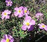 Seeds PACAKGE ONLY NOT Plants: Cistus Creticus Cretan Rockrose Ladania Koynoyklia Seed Bee Flower