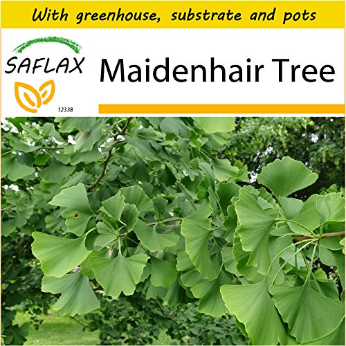 Ginkgo Biloba Maidenhair Tree - SAFLAX - Potting Set - Maidenhair Tree - 4 seeds - Ginkgo biloba