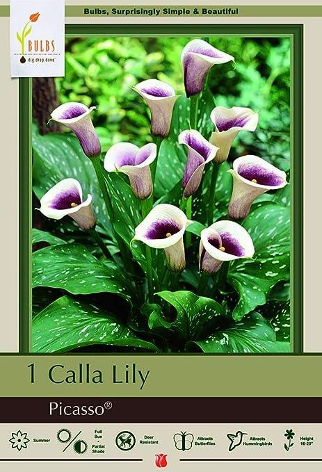 Amazon Com Picasso Calla Lily Bulb 14 16 Cm Bulb Mint Green
