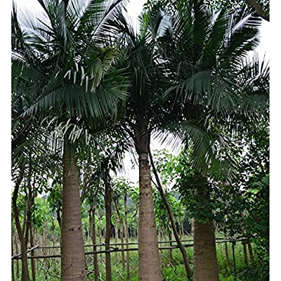 The Earth @ Palmae Evergreen Trees Windmill Palm Seeds 50 : Garden & Outdoor