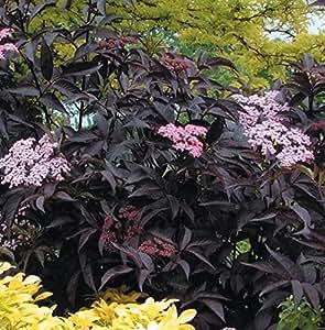 1 Starter Plant of Black Beauty Elderberry