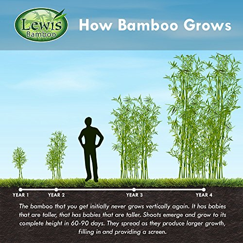 Incense Bamboo Phyllostachys Atrovaginata (2 Gallon 2-3 feet Tall) by Lewis Bamboo (Image #5)