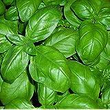 BASILICO GENOVESE 550 SEMI foglia larga PESTO LIGURE Basil pianta erba aromatica