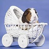 Guinea Pigs Calendar - Cute Animals Wall Calendar - Calendars 2020-2021 Wall Calendars - 16 Month Wall Calendar