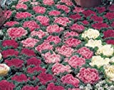 ~ORNAMENTAL KALE Mix KAMOME 35 Seeds Pink, White & Red