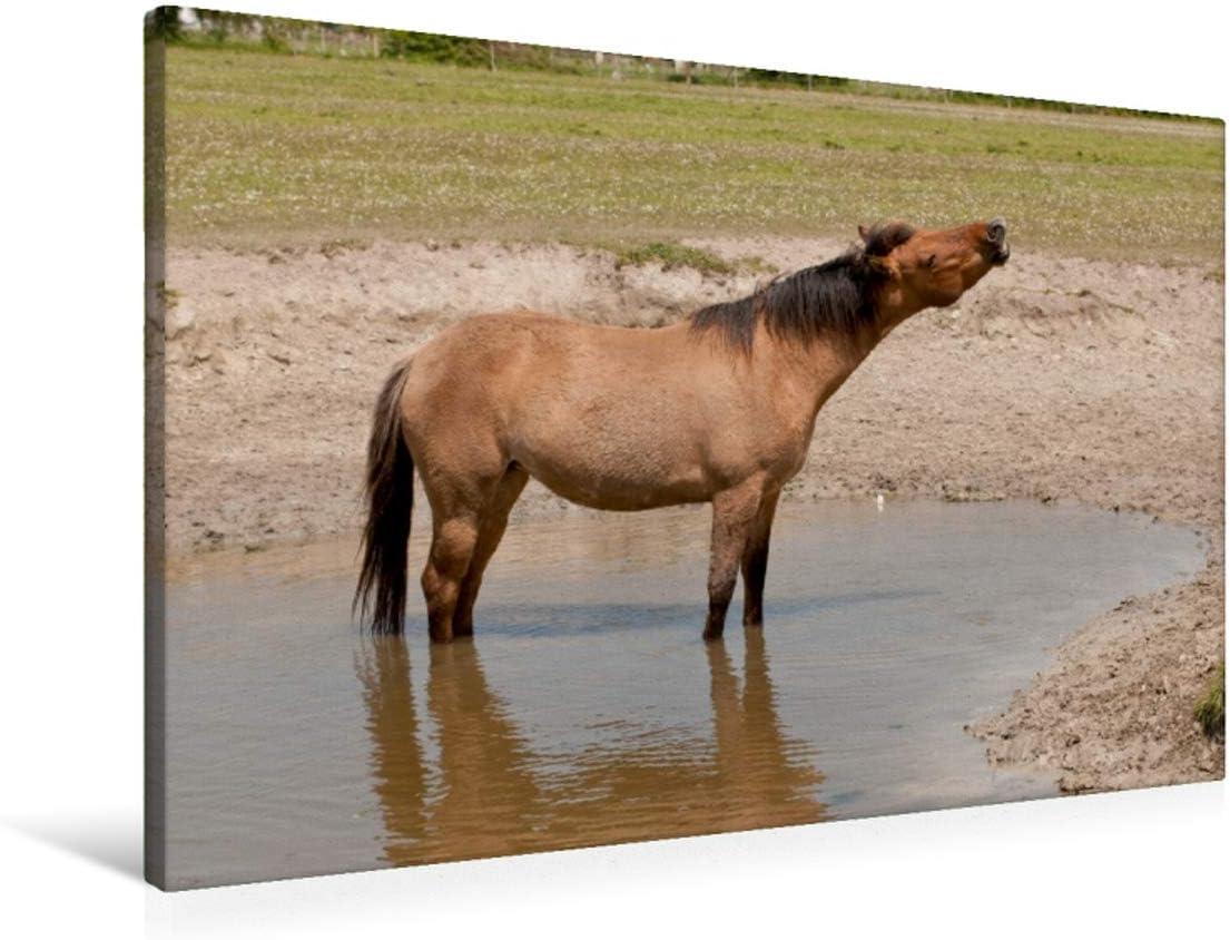 CALVENDO Lienzo Premium de 90 cm x 60 cm, Horizontal, un Motivo del Calendario Henson – Caballos de la Somme Bucht, Imagen sobre Bastidor, Imagen Lista para unirse a Caballo flehmendes Animales