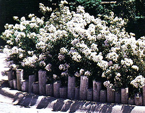 Pixie White Miniature Crape Myrtle, 1 Plant, Tiny Crisp White Flowers, Original Variety Invented by The Crape Myrtle Company, Matures 3ft, Ships 6-12inches (Well Rooted in Pot with Soil)