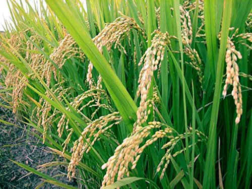 Rice Seeds (White Basmati Rice Seeds - Grow Your Own - theseedhouse - GMO FREE - 200 Seeds)
