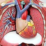 4D Torso Anatomical Assembly Model of Human, Organs