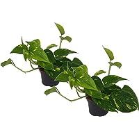 Efeutute, Scindapsus, (Epipremnum aureum) Sorte: Aureum, gelb-grünes buntes Blattwerk, rankend, Ampelpflanze, luftreinigend