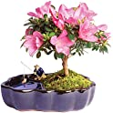 Save Big on Indoor and Outdoor Live Bonsai Plants