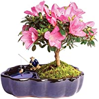 Save Big on Indoor and Outdoor Live Bonsai Plants from Brussels Bonsai at Amazon.com