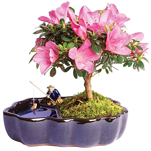 Brussel's Satsuki Azalea Bonsai in Zen Reflections Pot